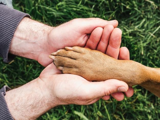 Очаровательный, милый щенок шоколадного окраса. крупный план, в помещении. дневной свет. концепция ухода, воспитания, дрессировки, воспитания домашних животных