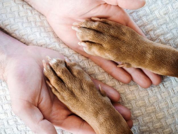 초콜릿 색상의 매력적이고 달콤한 강아지. 프리미엄 사진