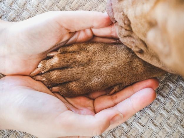 초콜릿 색상의 매력적이고 달콤한 강아지.