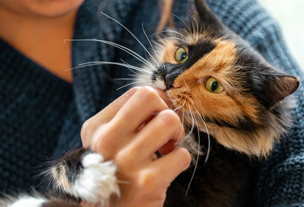 Charming three-color orange-black-and-white young cat playing with hand of her mistress. favorite pets. selective focus on cat muzzle.
