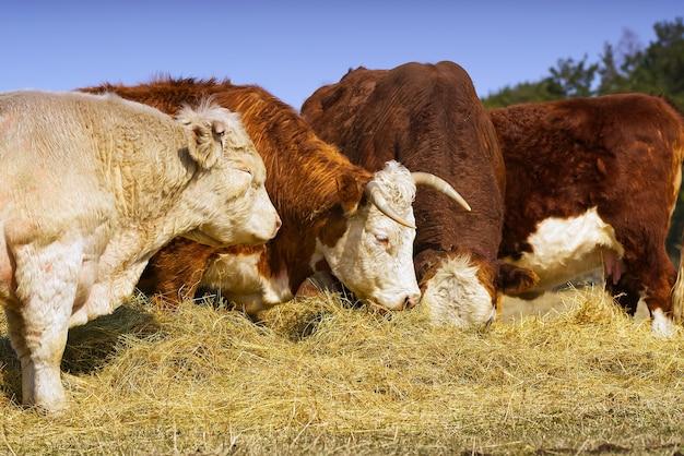 Корова шароле и чандлер херефорд ест на осеннем поле корова коричневого и белого цвета милая оранжевая корова с белой головой