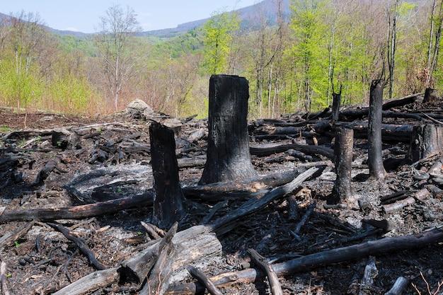 山火事後の焦げた木。自然災害。