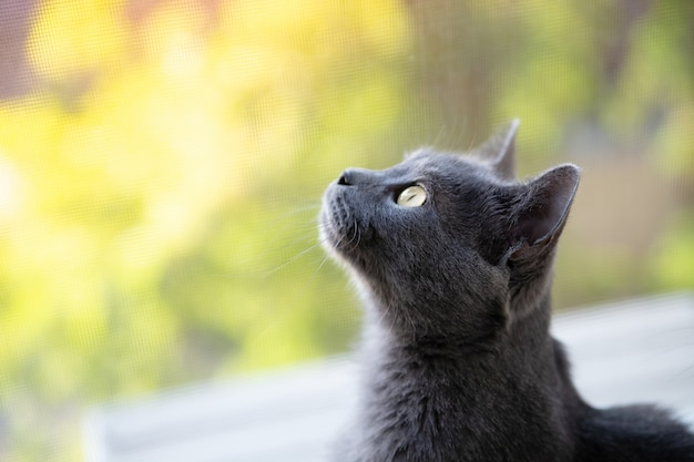 Chartreux gray cat looks out the window