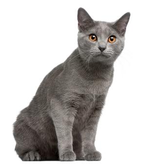 シャルトリュー子猫、5ヶ月、