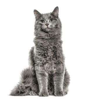 Chartreux 앉아, 흰색 절연