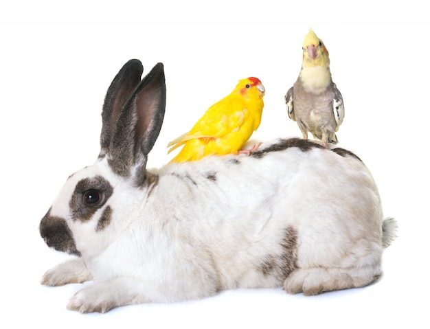 Checkered giant rabbit and parakeet