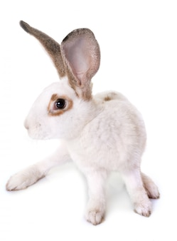 Checkered giant rabbit