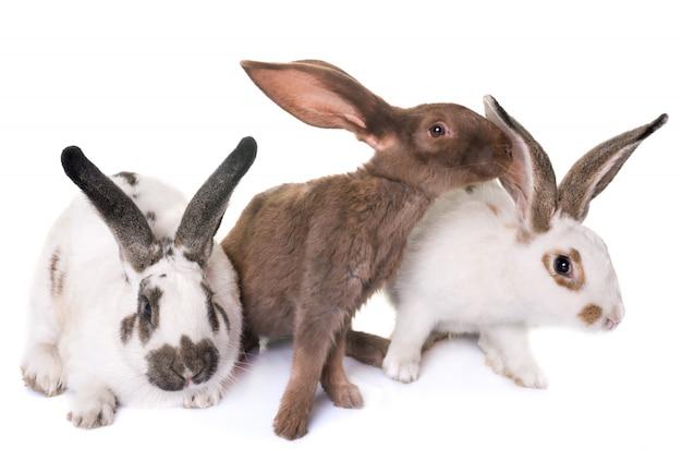 Checkered giant rabbits