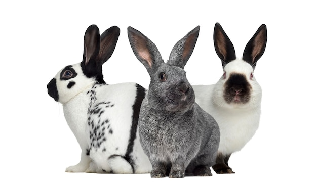 Checkered rabbit and argente rabbit and russian rabbit isolated on white