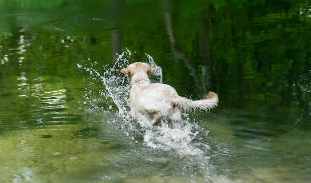 水に走っている陽気な犬