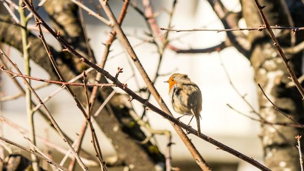 Веселый европейский малиновка (erithacus rubecula). весна в сочи. россия.