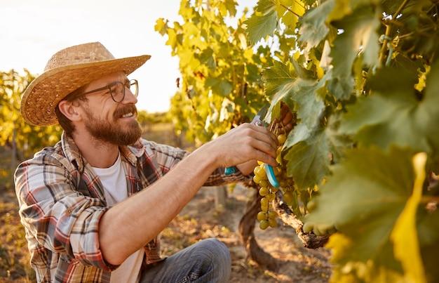 Cheerful farmer harvesting grapes in vineyard