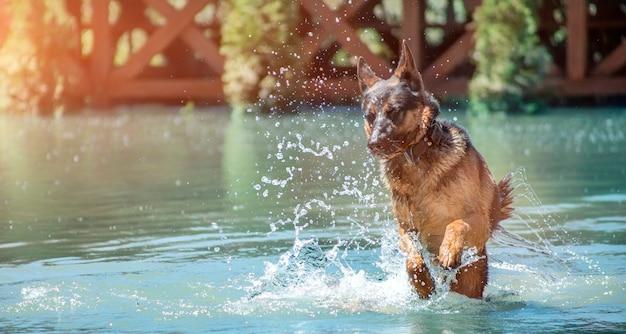 쾌활한 독일 셰퍼드가 물 위로 점프하고 방울이 다른 방향으로 날아갑니다.