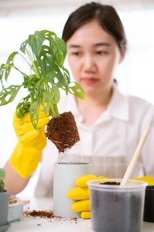 쾌활한 행복한 아시아 여성이 방에 작은 화초를 심고, 작은 몬스테라 나무를 새 화분으로 옮기고 있습니다. 집에 장식용 식물을 심는 아시아 소녀.