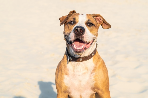 쾌활 한 종류의 개는 야외에서 모래에 앉아있다. 뜨거운 여름 날에 모래 해변이나 사막에서 귀여운 스 태퍼 드셔 테리어 강아지