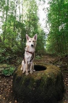 カメラを見て森のタイヤに座って口を開けてハーネスで陽気な雑種犬