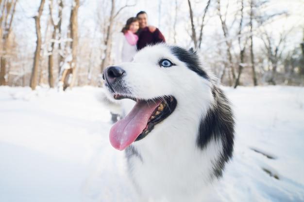 Веселая морда собаки сибирского хаски в зимнем парке, на заднем плане молодая пара.