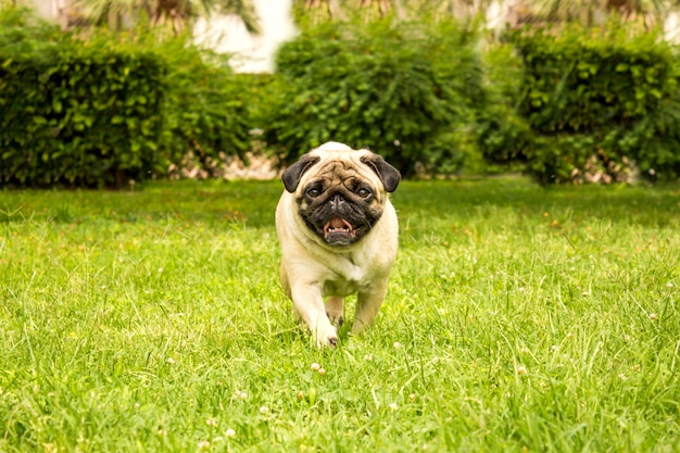 Cheerful pug dog running through green grass