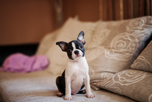 Cheerful puppy sitting on the sofa. boston terrier.