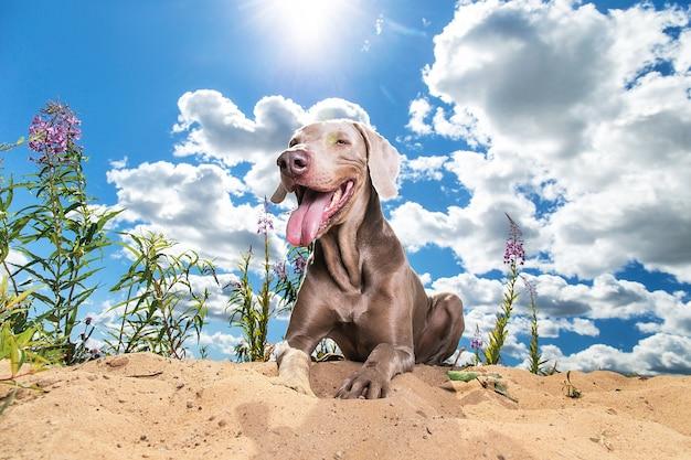 카메라 혀 밖으로 평온한 찾고 햇볕이 잘 드는 공원에서 모래에 누워 쾌활 한 편안한 개