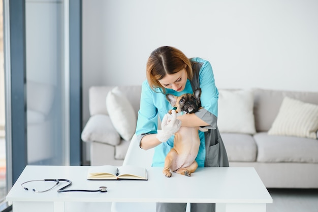 Веселый молодой ветеринар заботится и осматривает красивую собаку французского бульдога