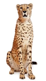Cheetah, acinonyx jubatus, 18 months old, sitting