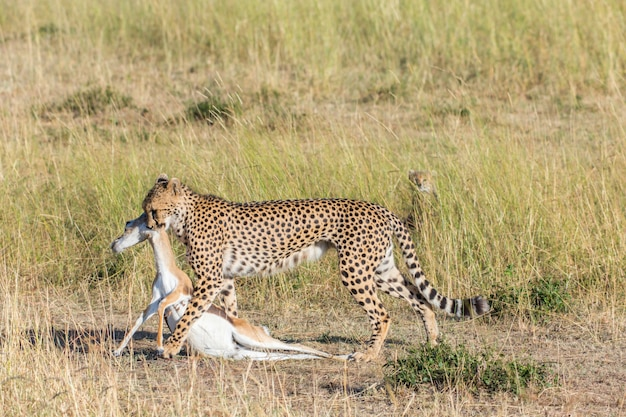 Cheetah carries a prey