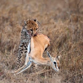 獲物を運ぶチーター、セレンゲティ国立公園、タンザニア、アフリカ