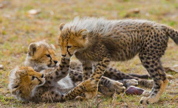 Детеныши гепарда играют друг с другом в саванне.