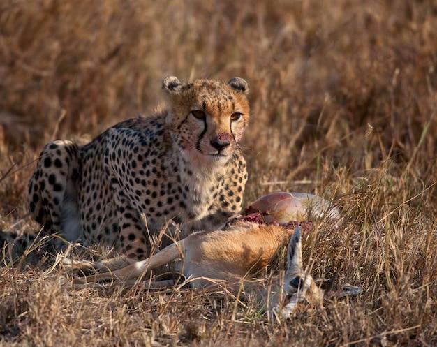 獲物を食べるチーター、セレンゲティ国立公園、タンザニア、アフリカ