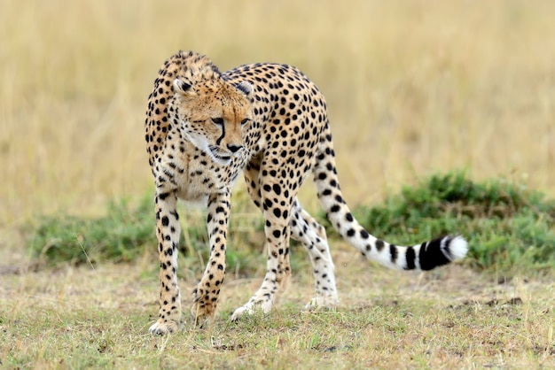 Cheetah on grassland in national park of africa