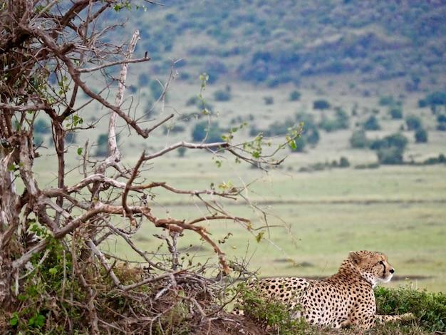 Гепард в национальном парке масаи мара - кения
