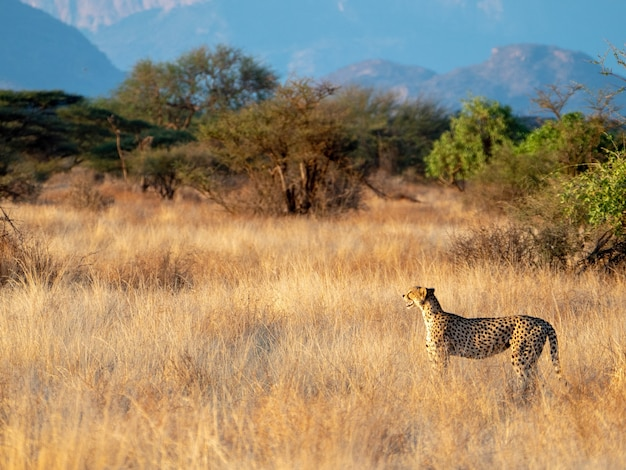 Гепард в национальном заповеднике масаи мара