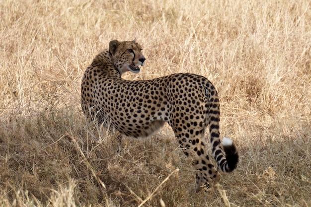 セレンゲティ国立公園のチーター-タンザニア