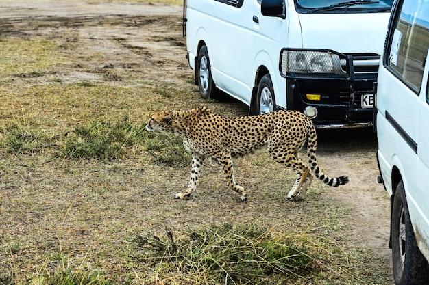 アフリカのサバンナ公園のチーターマサイマラ