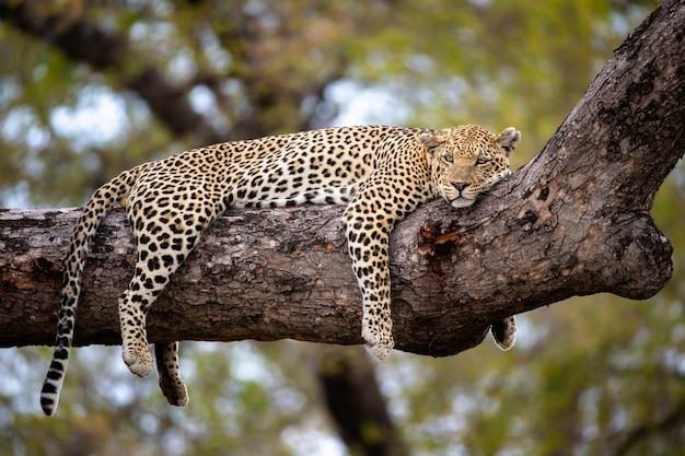 木の枝のチーター、タンザニアのセレンゲティの木のチーター
