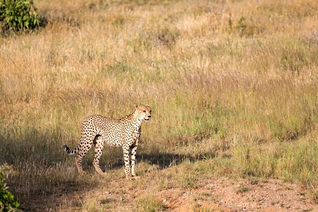 ケニアのサバンナの草原のチーター