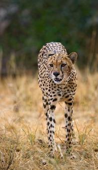 サバンナのチーター。閉じる。ケニア。タンザニア。アフリカ。国立公園。セレンゲティ。マーサイ・マーラ。