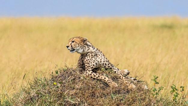 Гепард лежит на холме в саванне.