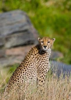 Гепард сидит в саванне.