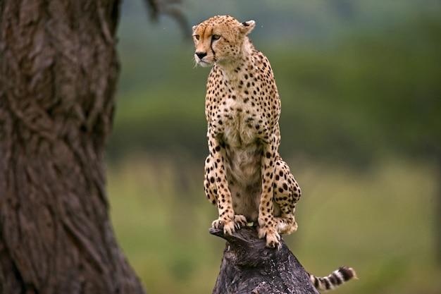 Cheetah is sitting on a tree in the savannah.