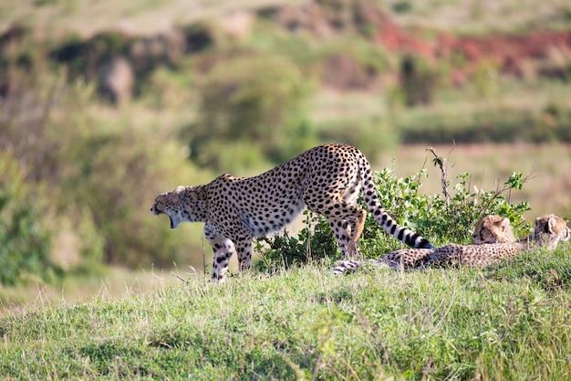 Мать гепарда с детьми в саванне