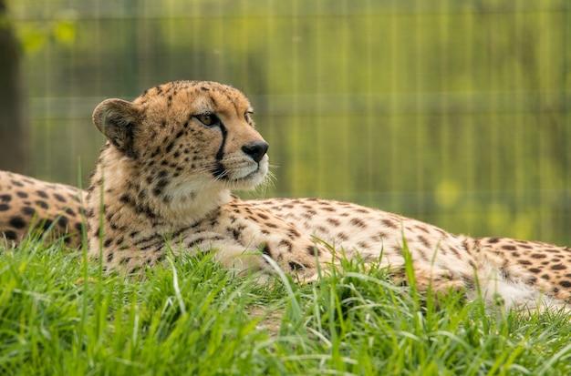 動物園の芝生で休んでいるチーター