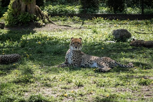 푸른 잔디에서 쉬고 있는 치타