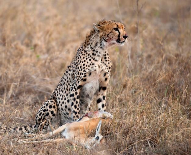 チーターに座って獲物を食べる、セレンゲティ国立公園、タンザニア、アフリカ