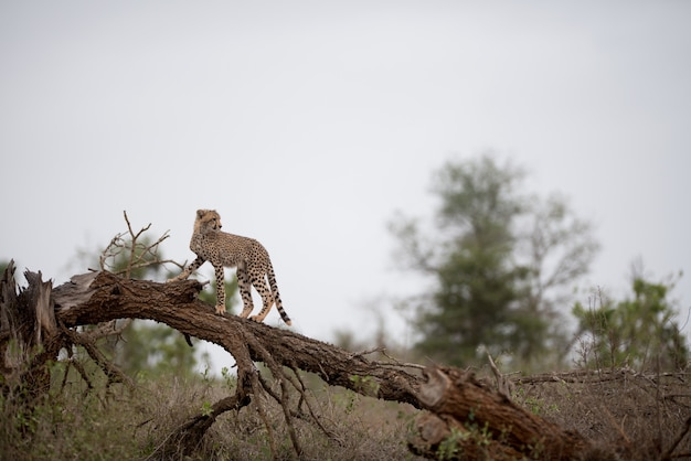 Cheetah standing on a dead tree