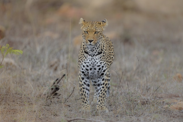 Cheetah standing in a dry grassy field while looking straight ahead