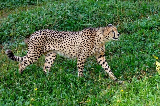 Cheetah walking across the meadow