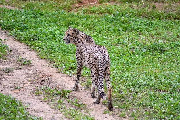 Cheetah walking through a field
