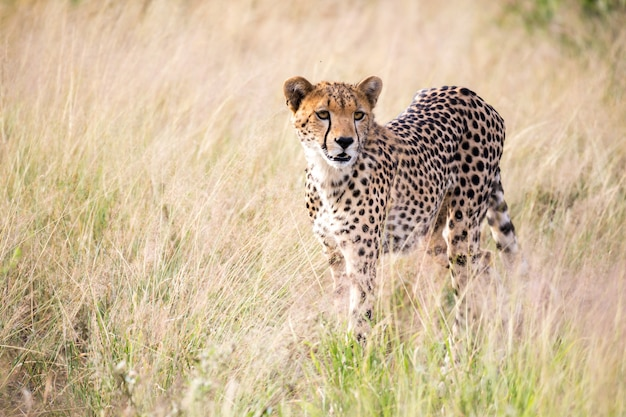 A cheetah walks in the high grass of the savannah looking for something to eat